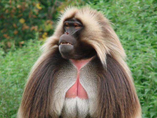 Chelada monkey wild animal.