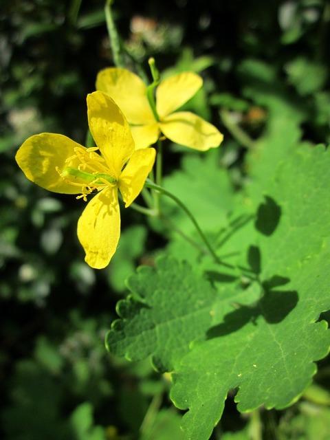 Chelidonium majus greater celandine tetterwort, nature landscapes.