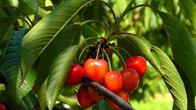 Cherries fruits cherry, nature landscapes.