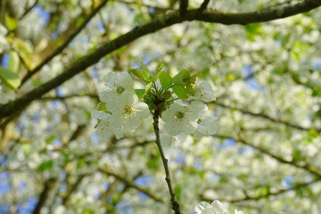 Cherry blossom blossom bloom.