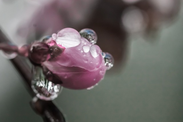 Cherry blossom drops water.