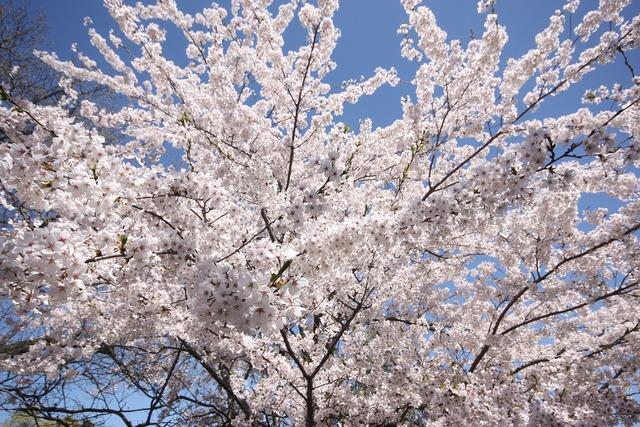 Cherry blossom hide park.