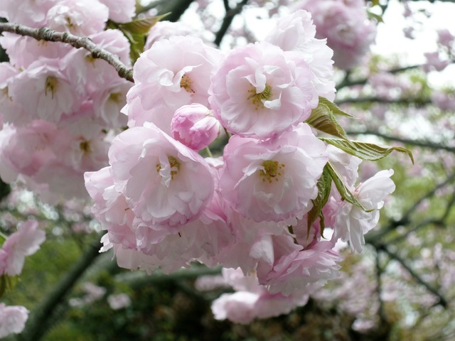 Cherry blossom plant pink, nature landscapes.
