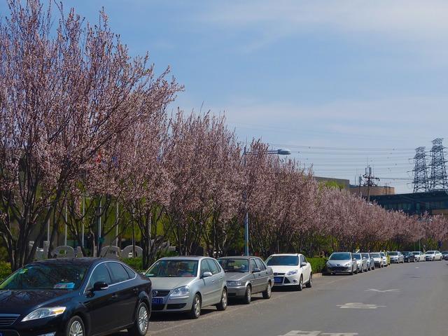 Cherry blossom road automotive, transportation traffic.
