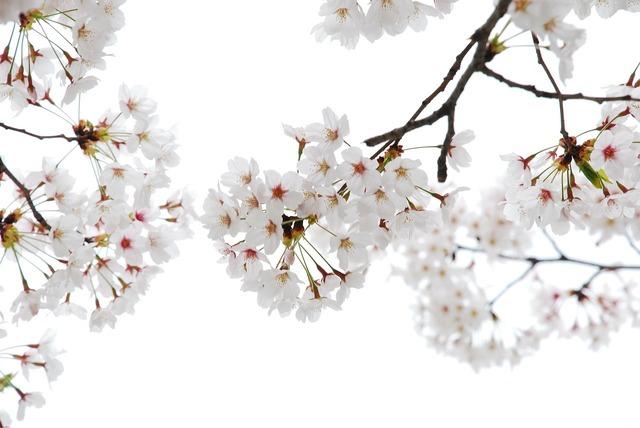 Cherry flowers flower horn affix.