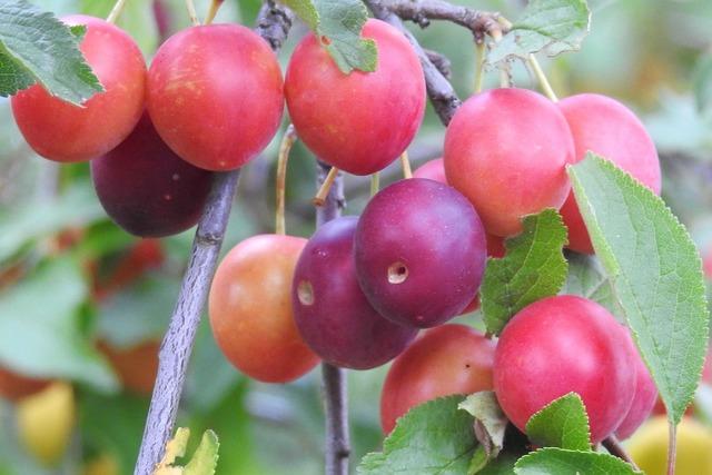 Cherry plum yellow plums fruit, food drink.