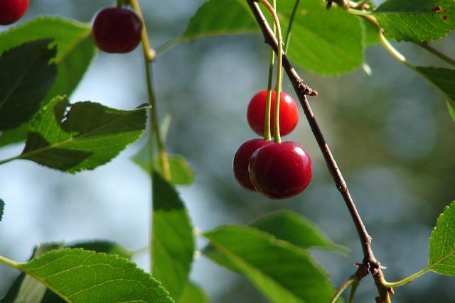 Cherry summer closeup.