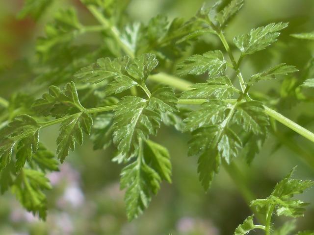 Chervil herb kitchen herb, nature landscapes.