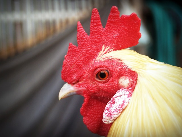 Chicken hen white, animals.