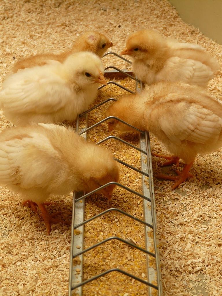 Chicks chickens hatched, animals.