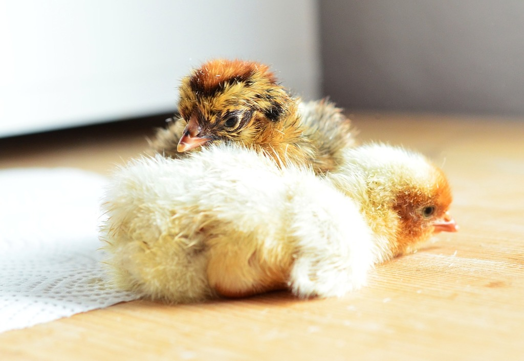 Chicks hatched cute.