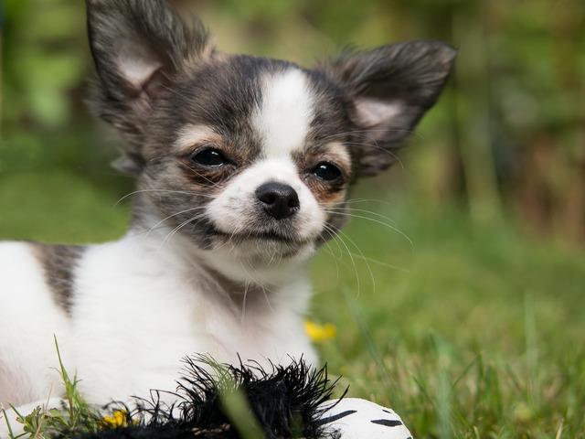 Chihuahua dog puppy, animals.