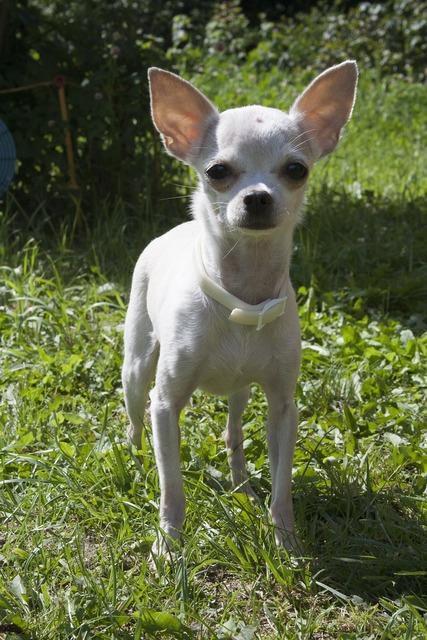 Chihuahua dog small dog, animals.