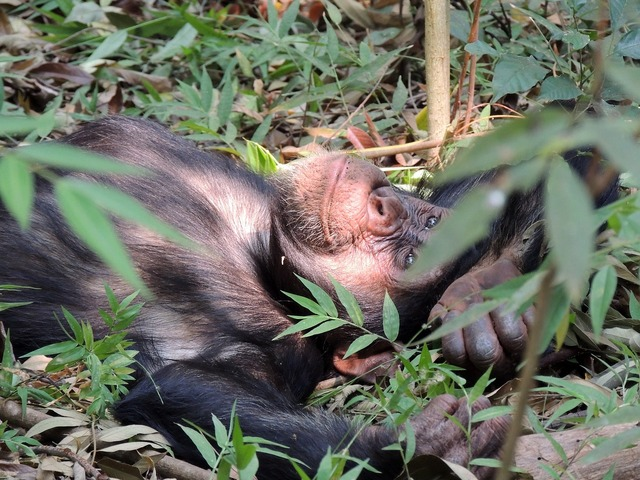 Chimpanzee ape primate, animals.