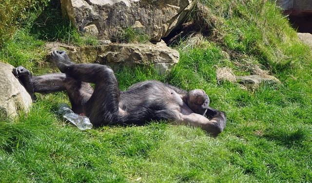 Chimpanzee monkey ape.
