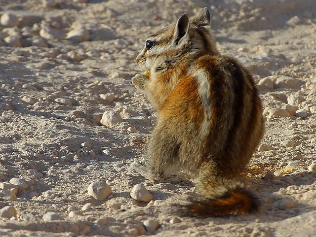 Chipmunk squirrel nager, animals.