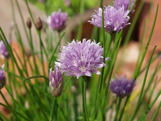 Chives floral plants.