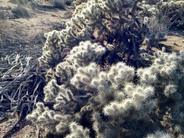 Cholla joshua tree desert, nature landscapes.