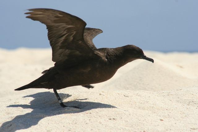 Christamas shearwater bird taking off, animals.