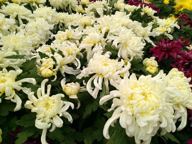Chrysanthemum flower show national day.