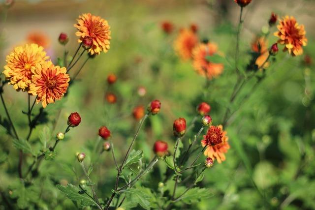 Chrysanthemum flowers summer.