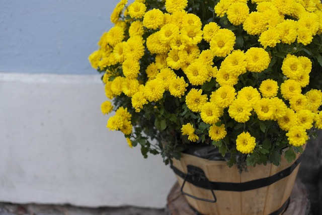 Chrysanthemum flowers yellow flowers.