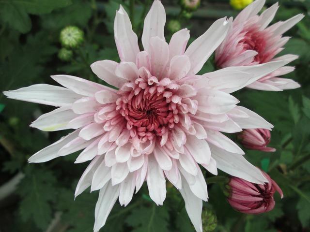 Chrysanthemum plant park, nature landscapes.