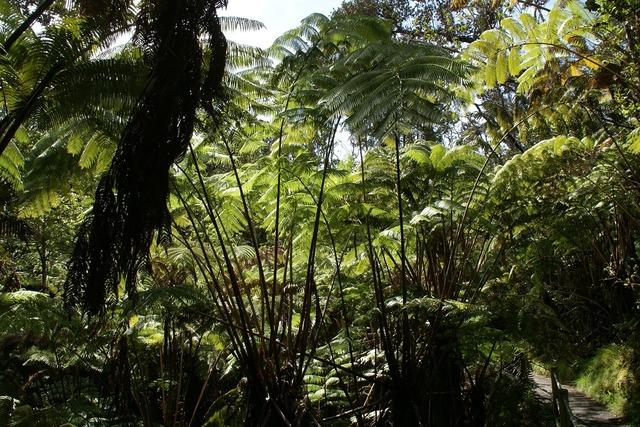 Cibotium glaucum hapuu pulu fern, nature landscapes.