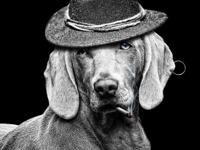 Cigarette hat dog, animals.