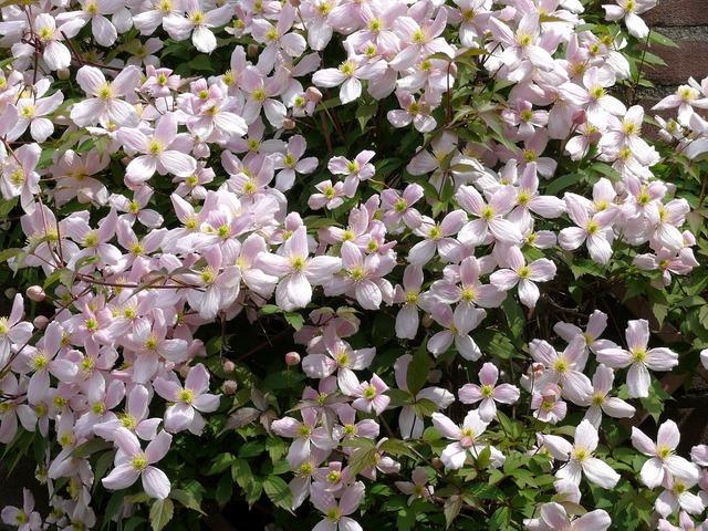Clematis plant garden plant, nature landscapes.