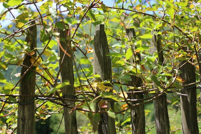 Climber creeper fence, nature landscapes.