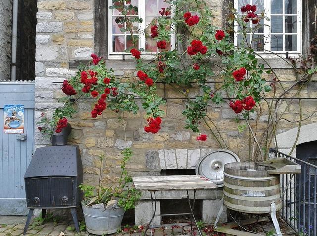 Climbing rose roses bloom, nature landscapes.
