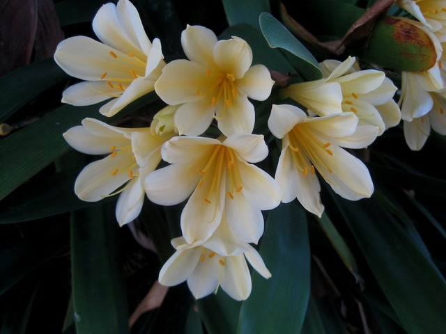 Clivia miniata natal lily flowers, nature landscapes.