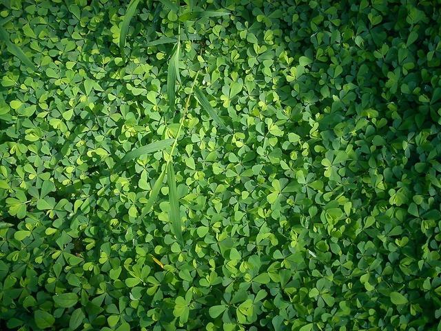 Clover grass green, nature landscapes.