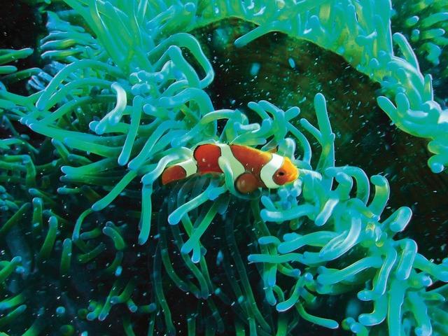 Clown fish underwater diving.