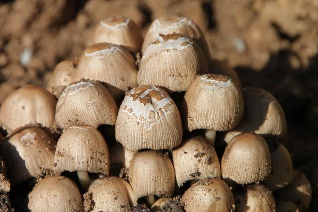 Clusters coprinus fungus.