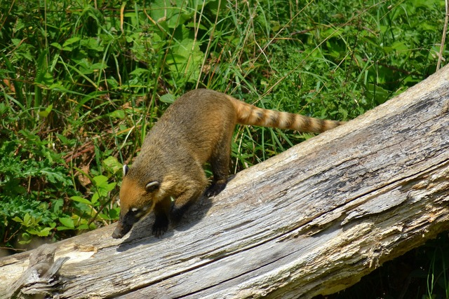 Coati south american coati ring-tailed coati, animals.