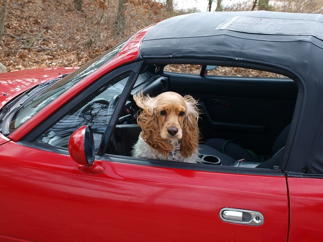 Cocker spaniel dog car, animals.