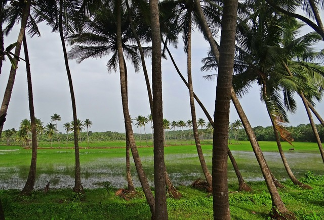 Coconut groves pasture field.