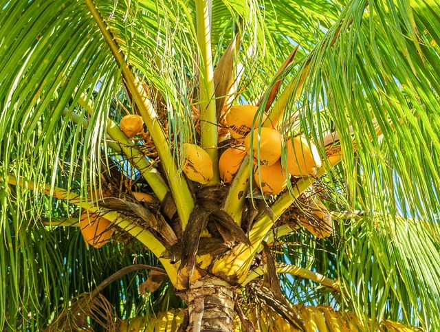 Coconut tree coconut palm fruit, food drink.