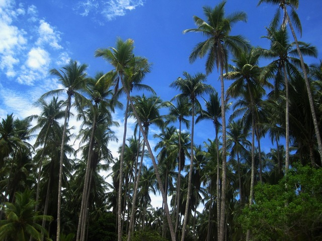Coconut trees costa rica frond, nature landscapes.