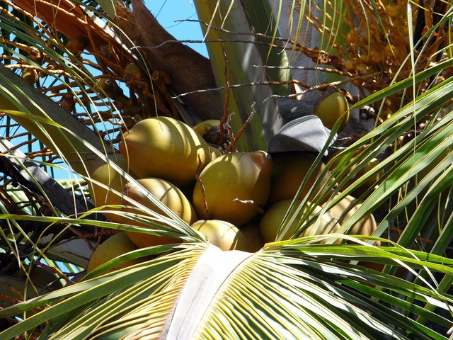 Coconuts palms trees.