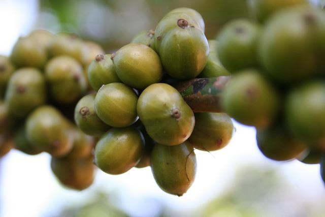 Coffee beans green, food drink.