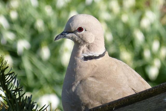 Collared dove bird, animals.