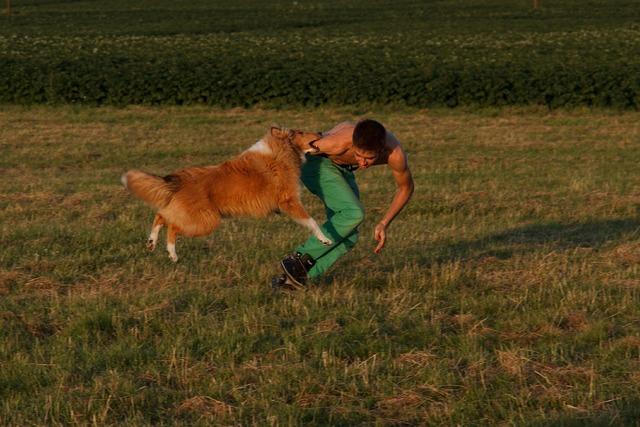 Collie dog training dog exercise, animals.