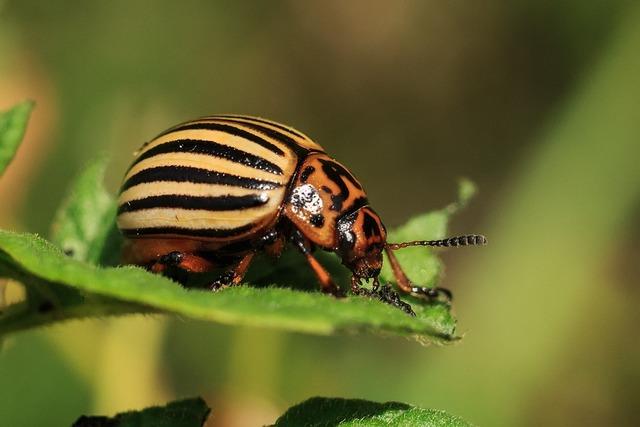 Colorado pests beetle.