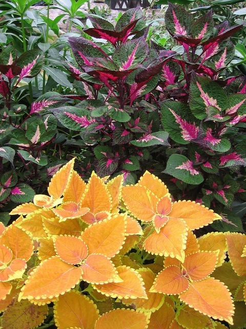 Colorful nettle plant colorful, nature landscapes.