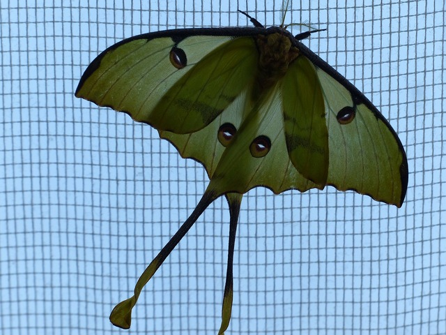 Comet moth butterfly large, animals.