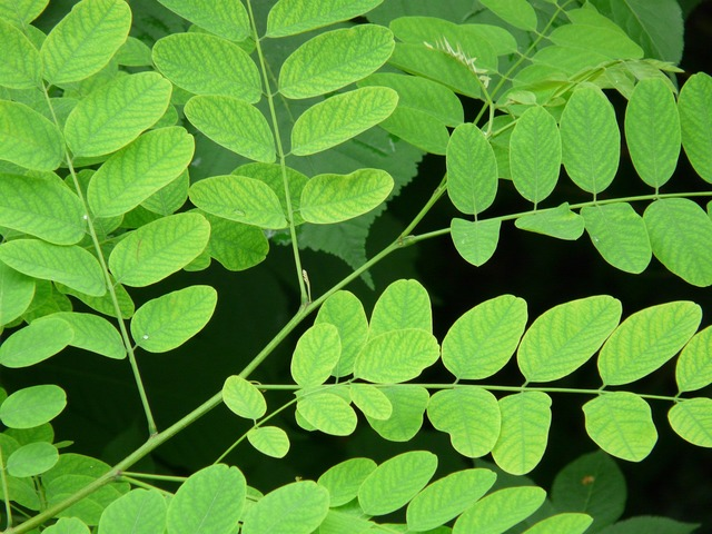 Common maple robinia pseudoacacia robinia.