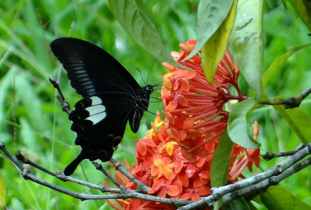 Common mormon butterfly papilio polytes.